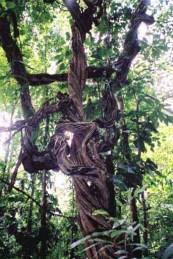 2004crmanzanillotree.jpg