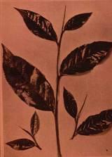tea_plant.jpg
